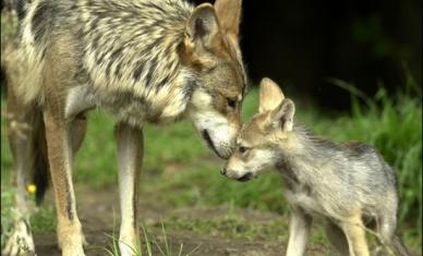 croppedimage701426-grey-wolf